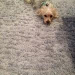 Kirkland-Dog-carpet-clean